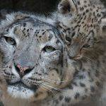Dynafit Snow Leopard Day